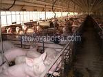 изграждане на свинеферми по поръчка
